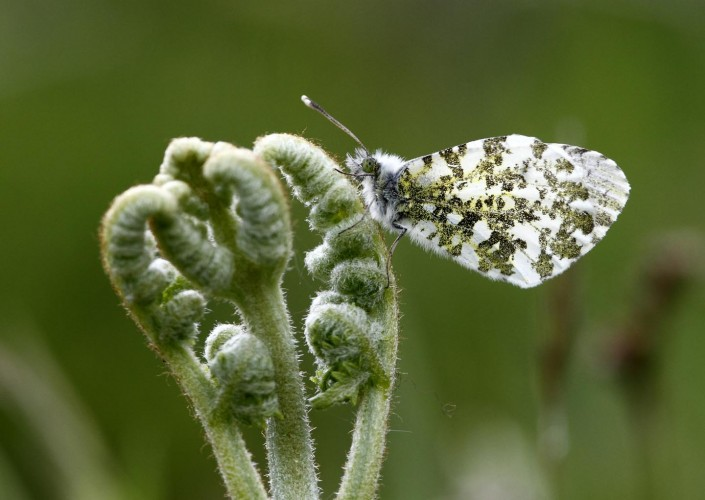 Female Orange-tip Butterfly 1