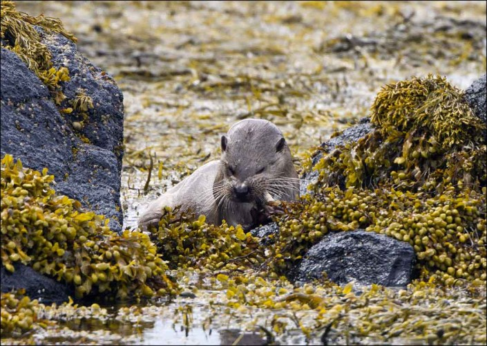 mull otter british wildlife and nature by terry bagley
