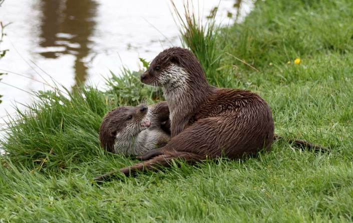 otter uk british wildlife and nature by terry bagley