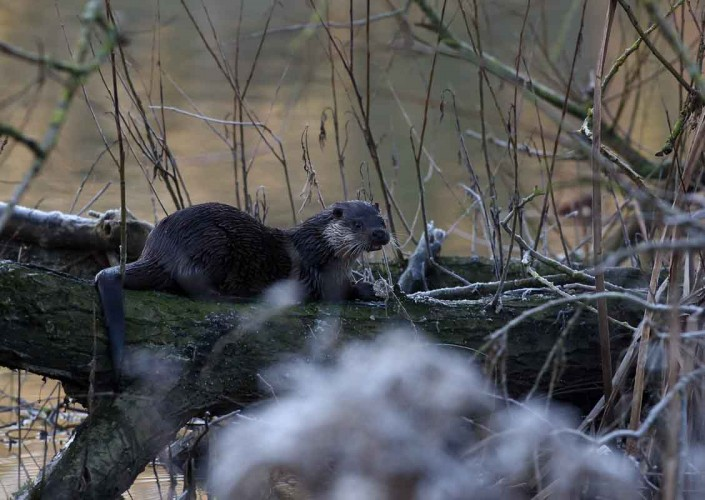 dorset otter british wildlife and nature by terry bagley