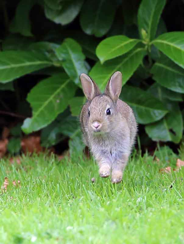rabbit uk british wildlife and nature