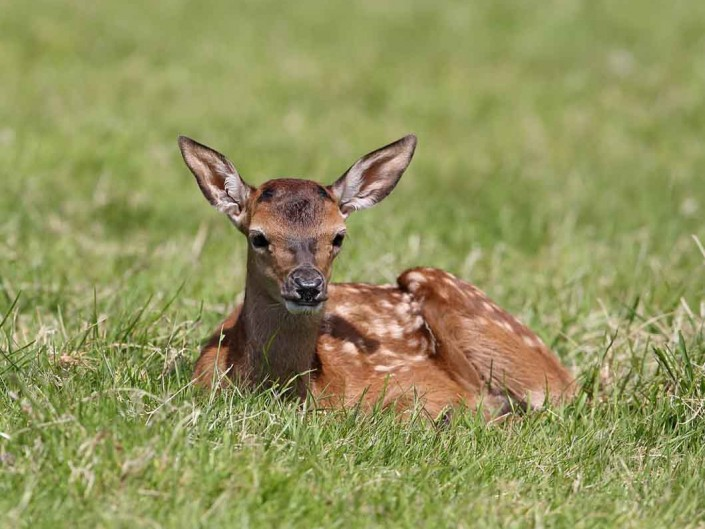 Red Deer calf 8 by terry bagley