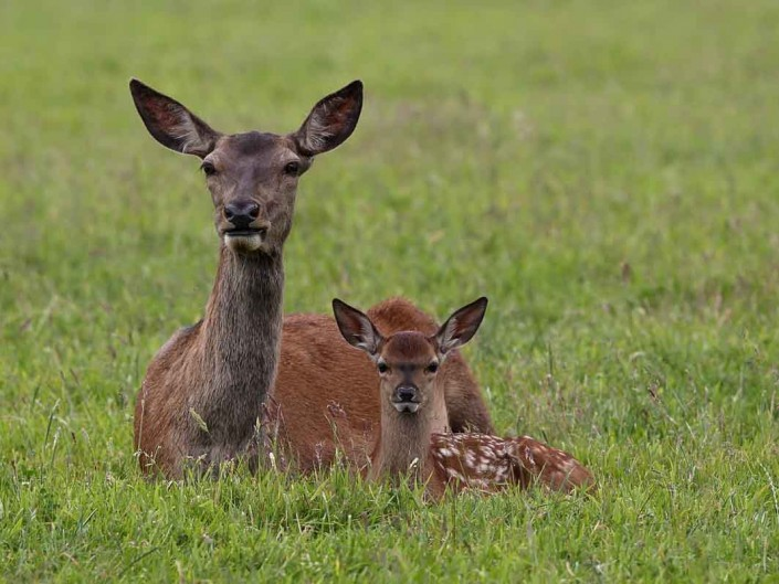 Red Deer Hind and Calf 3 by terry bagley