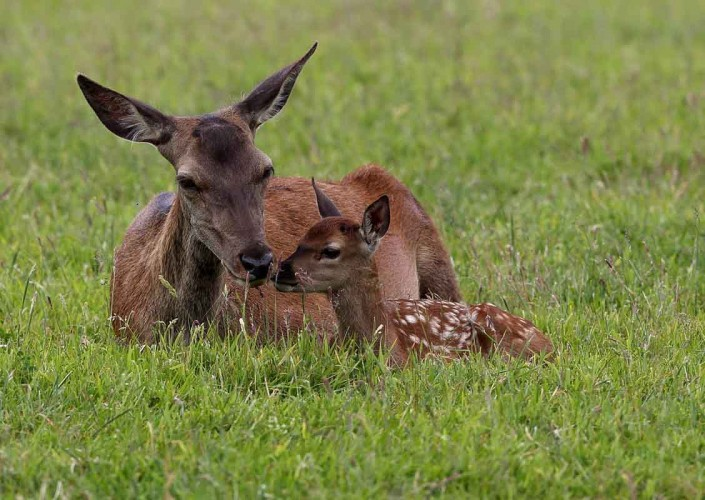 Red Deer Hind and Calf 2 by terry bagley