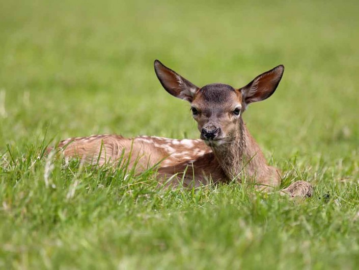 Red Deer calf by terry bagley