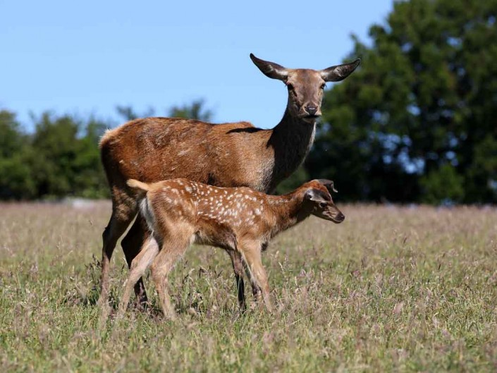 Red Deer Hind and Calf 1 by terry bagley