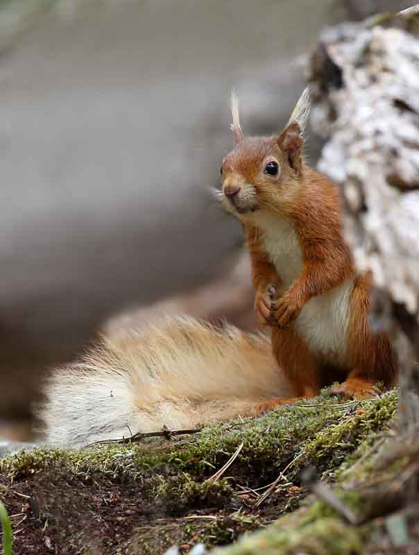 red squirrel uk british wildlife and nature