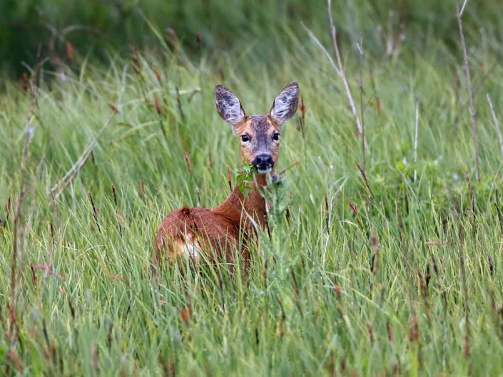 roe deer by terry bagley