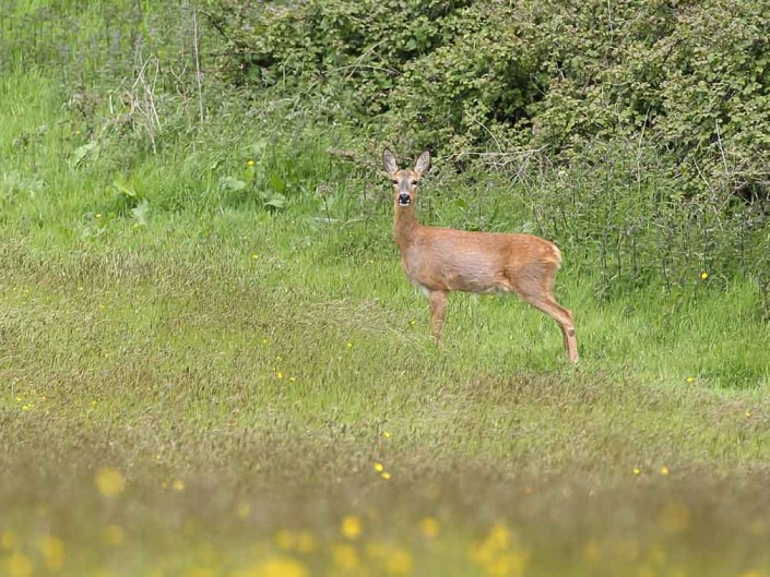 somerset roe deer by terry bagley