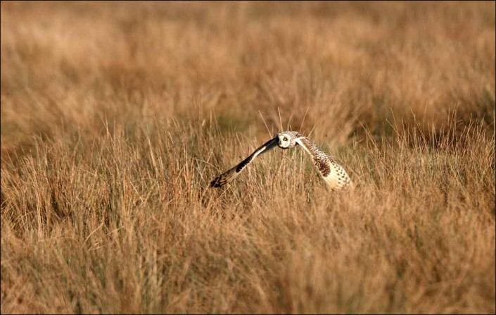 14 short-eared owl uk british wildlife and nature by terry bagley
