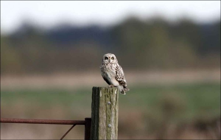 13 short-eared owl uk british wildlife and nature by terry bagley