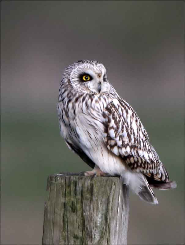 12 short-eared owl uk british wildlife and nature by terry bagley