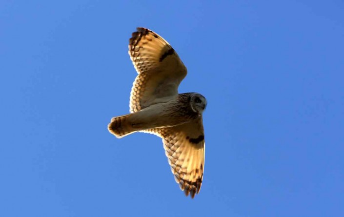 11 short-eared owl uk british wildlife and nature by terry bagley