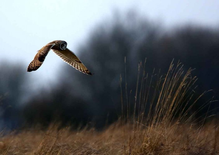 10 short-eared owl uk british wildlife and nature by terry bagley