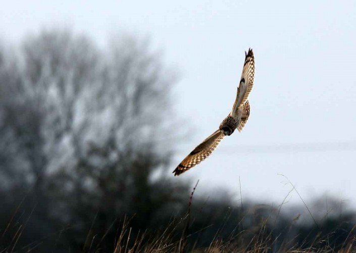 9 short-eared owl uk british wildlife and nature by terry bagley