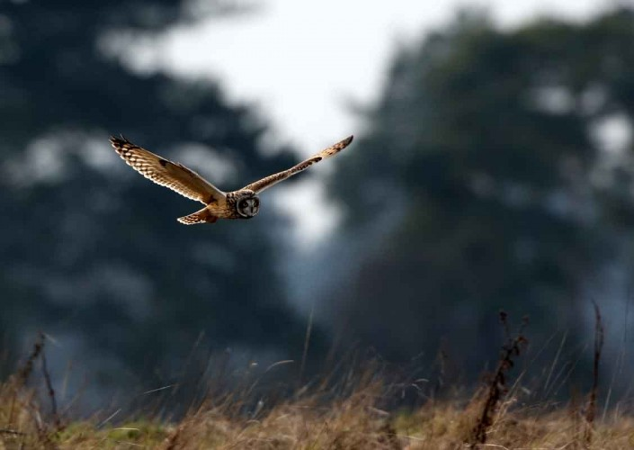 8 short-eared owl uk british wildlife and nature by terry bagley