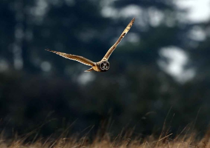 7 short-eared owl uk british wildlife and nature by terry bagley