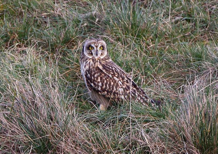 6 short-eared owl uk british wildlife and nature by terry bagley