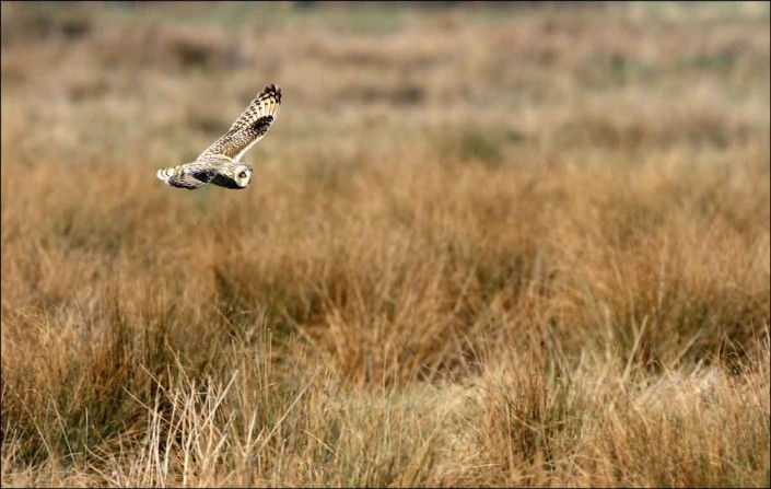 1 short-eared owl uk british wildlife and nature by terry bagley
