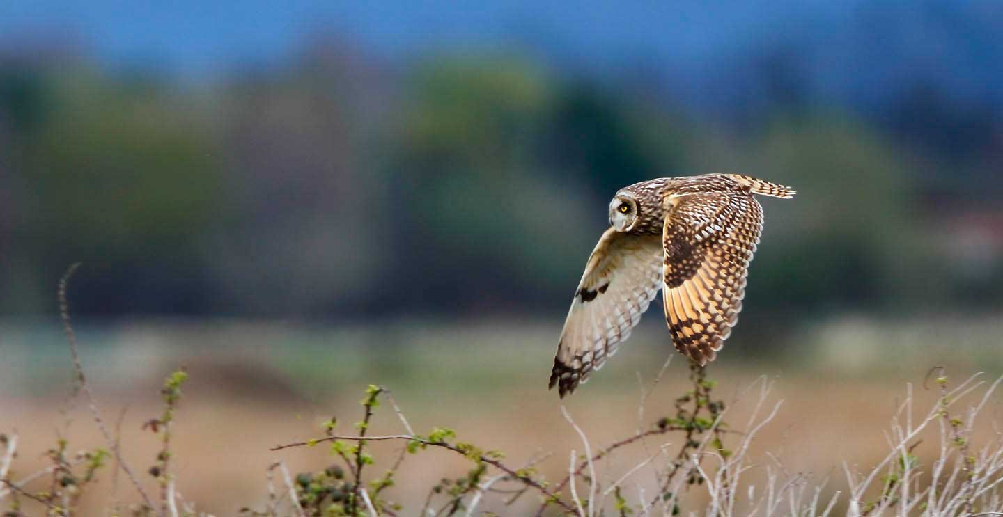 Short-eared Owl on the Somerset Levels by terry bagley