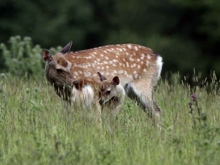 sika deer and calf by terry bagley
