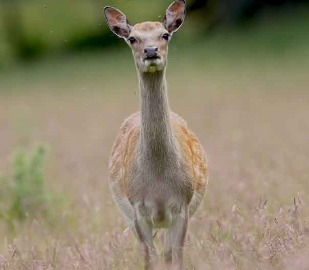 sika deer at rspb arne by terry bagley