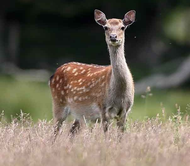 sika deer by terry bagley