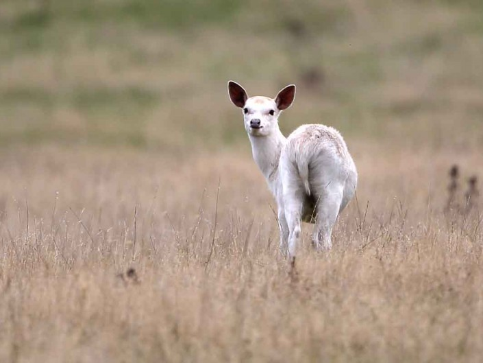 white sika deer at rspb arne dorset by terry bagley
