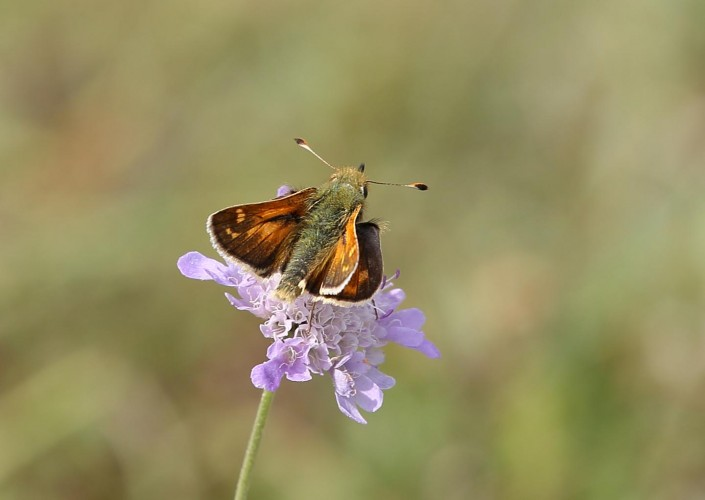 Silver-spotted Skipper Butterfly 2