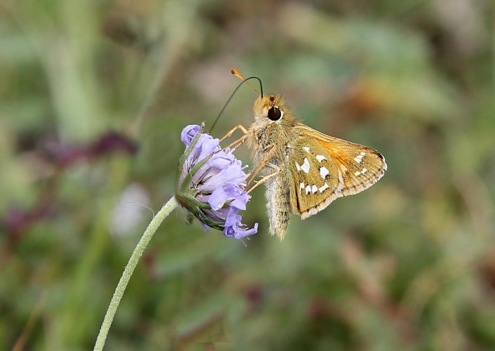 Silver-spotted Skipper Butterfly 1