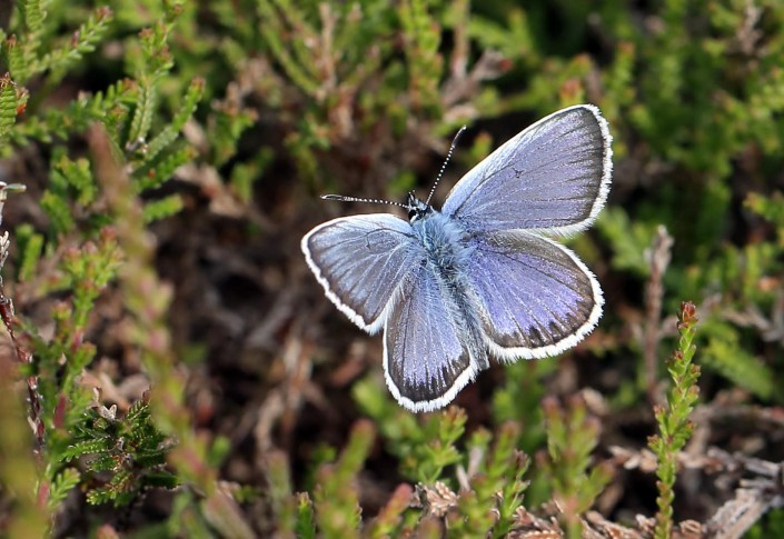 Silver-studded Blue Butterfly 3