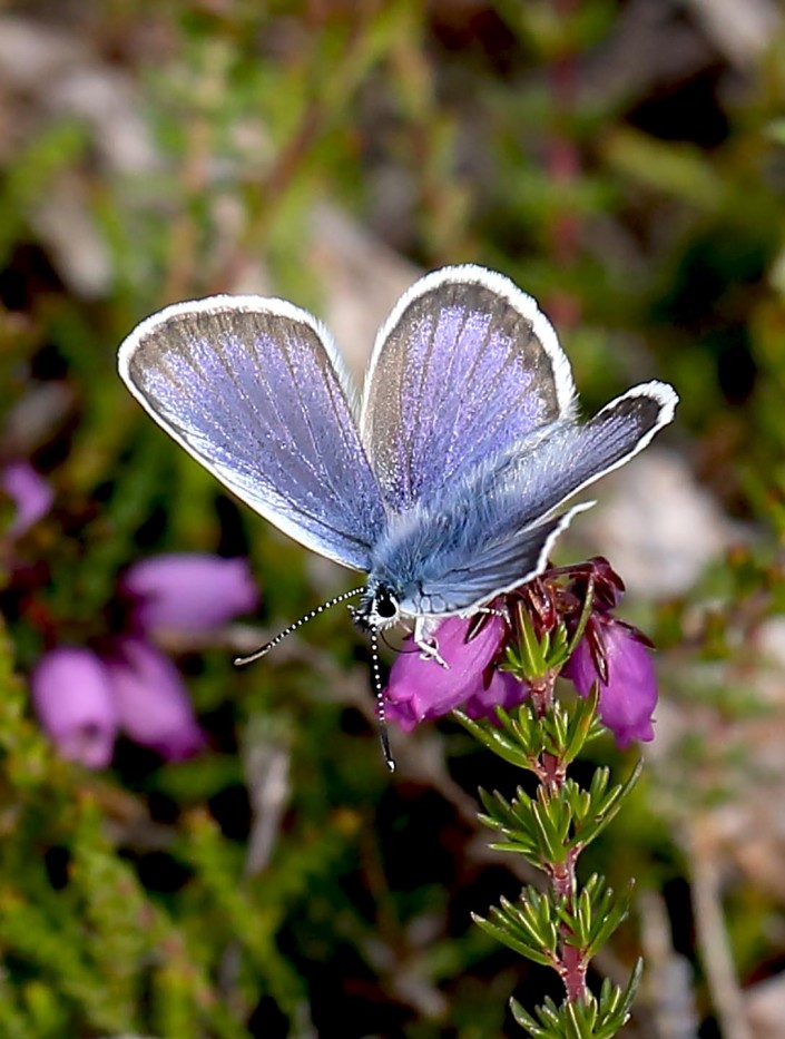 Silver-studded Blue Butterfly 2