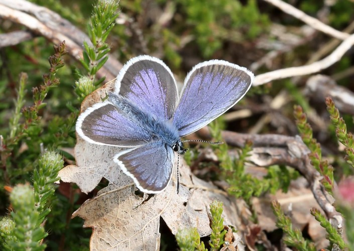 Silver-studded Blue Butterfly 1
