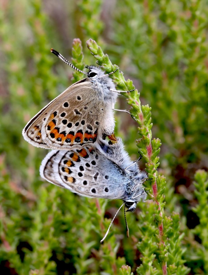 Silver-studded Blue butterfly mating pair 1