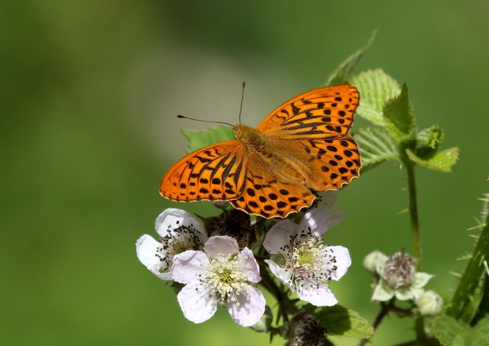 Silver-washed Fritillary 2