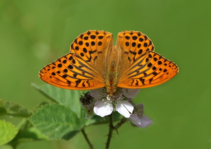 Silver-washed Fritillary 1