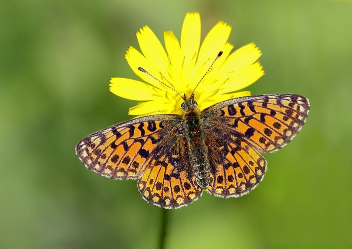 Small Pearl-borded Fritillary