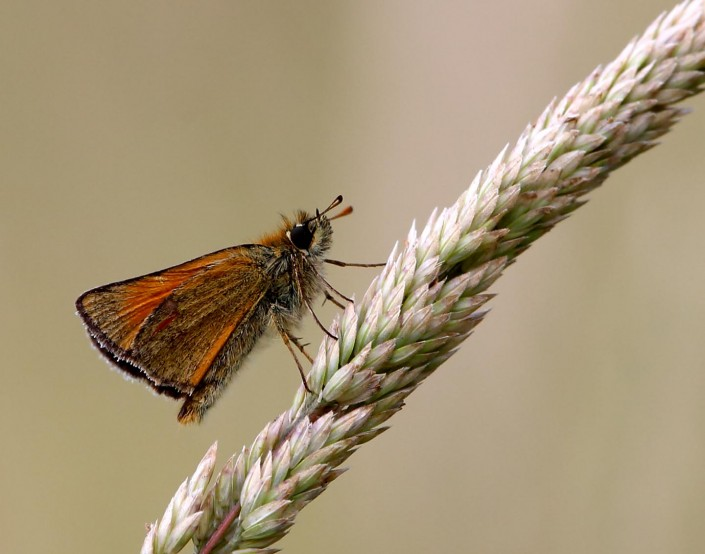 Small Skipper 2