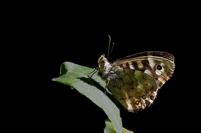 Speckled Wood Butterfly 1