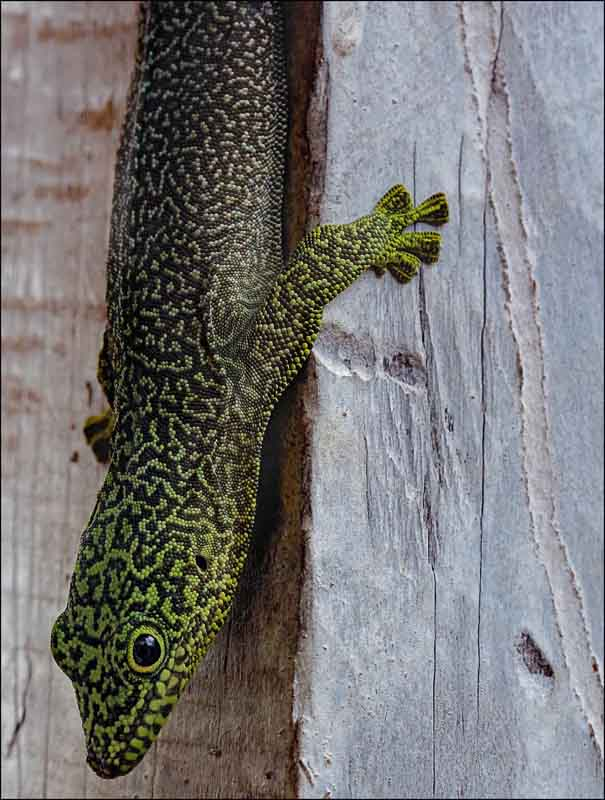 Standing's day gecko madagascar wildlife photo by terry bagley
