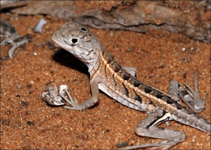 Three-eyed lizard madagascar wildlife photo by terry bagley