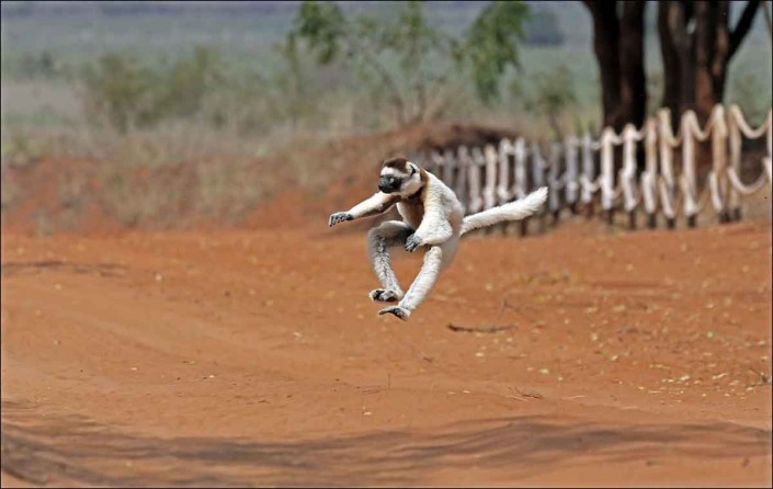 Verreaux's sifaka madagascar wildlife photo by terry bagley