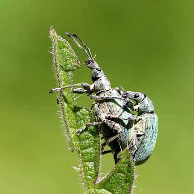 Weevils on the tip of a stinging nettle by terry bagley
