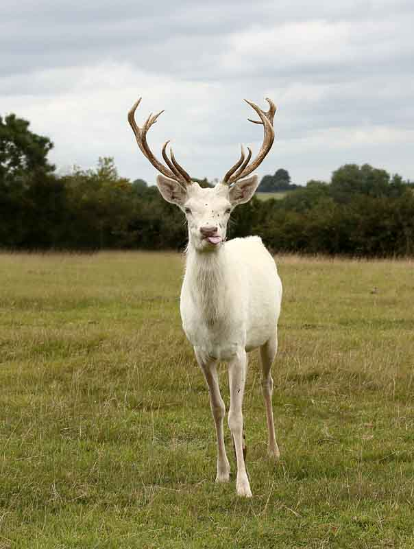 white red deer stag by terry bagley