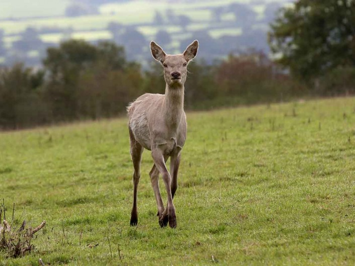 White Red Deer Hind by terry bagley