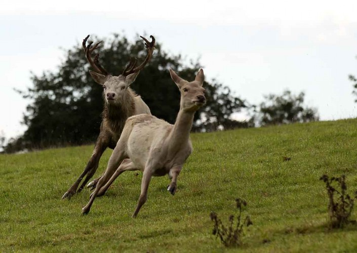 White Red Deer Stag chasing Hind by terry bagley