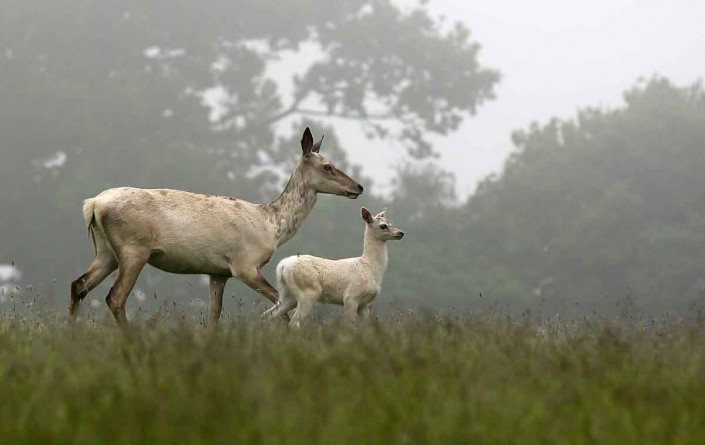 white red deer hind and calf by terry bagley
