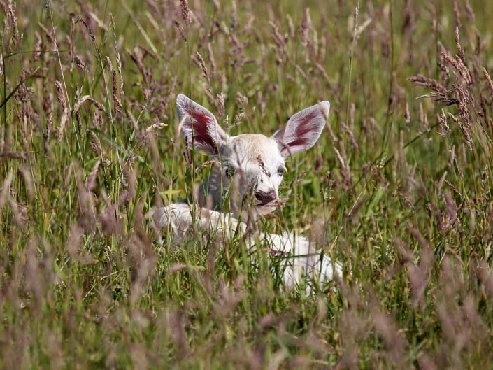 white red deer calf by terry bagley