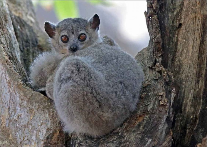 White-footed sportive lemur madagascar wildlife by terry bagley