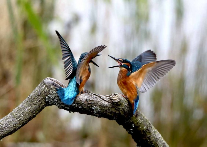 13 kingfisher fighting by terry bagley somerset dorset surrey